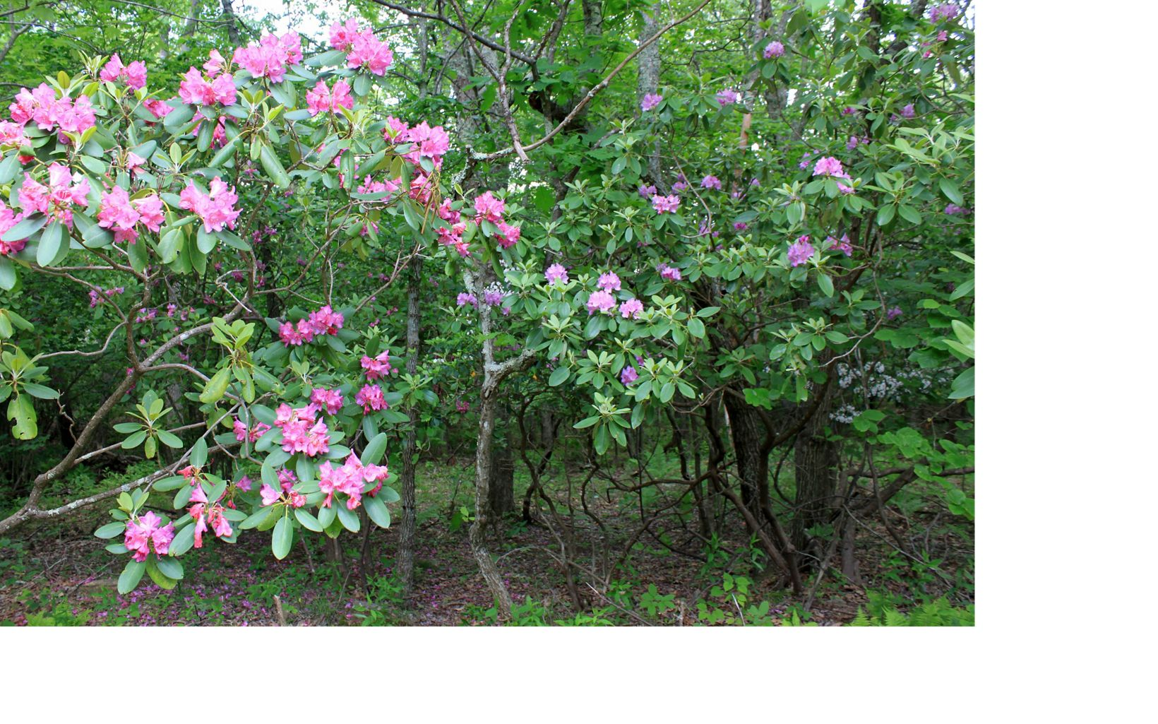 Rhododendron and mountain laurel, Warm Springs Mountain Preserve.