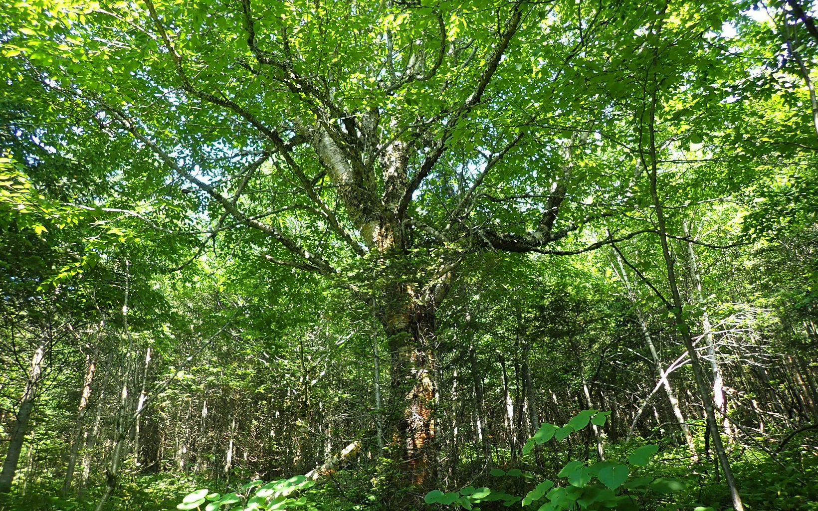 A large yellow birch shades the forest floor in Boundary Mountains Preserve.