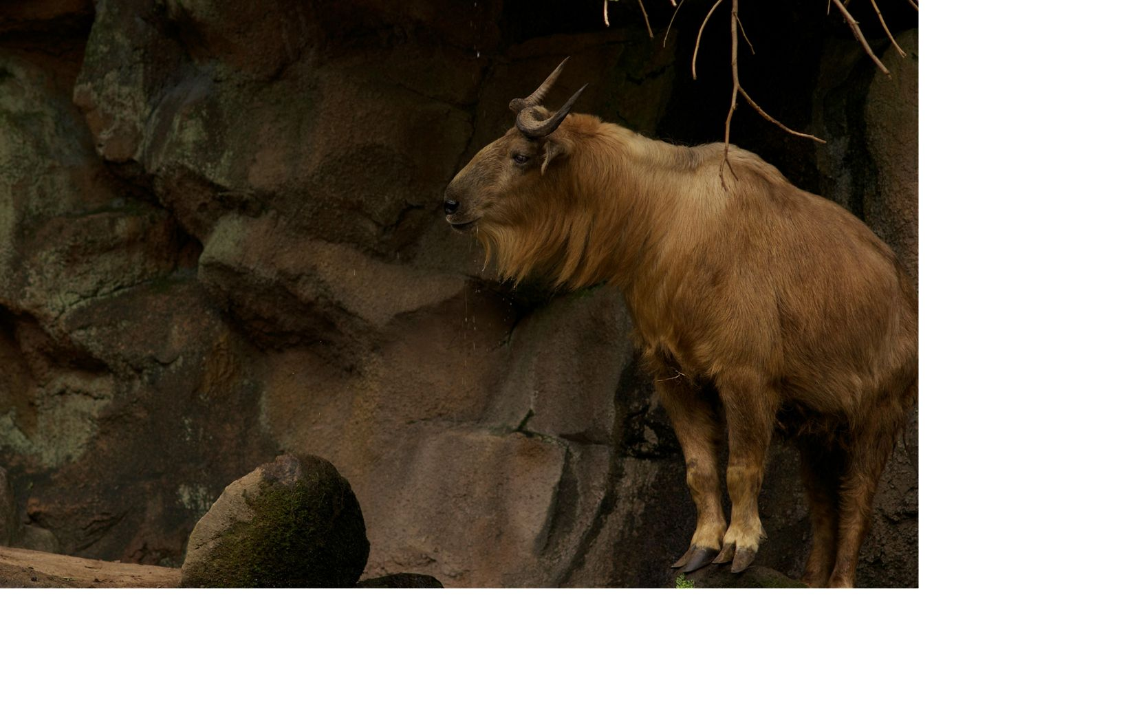 horned takin on a rocky outcrop