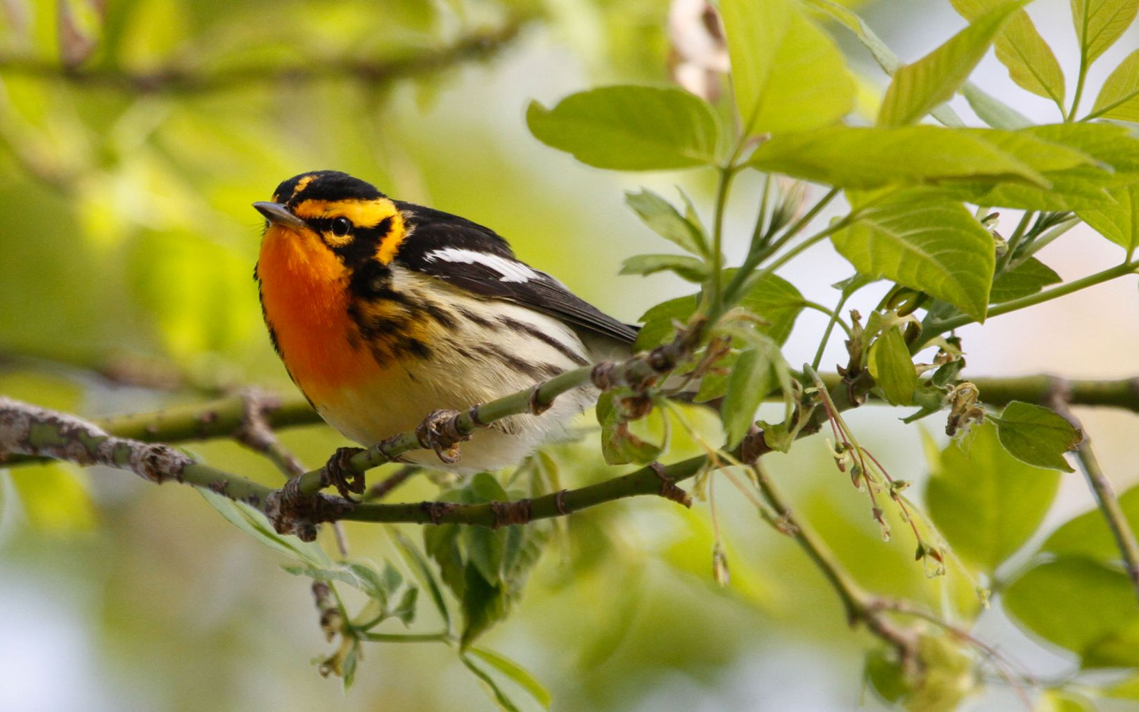 A small orange and black bird rests on a branch.