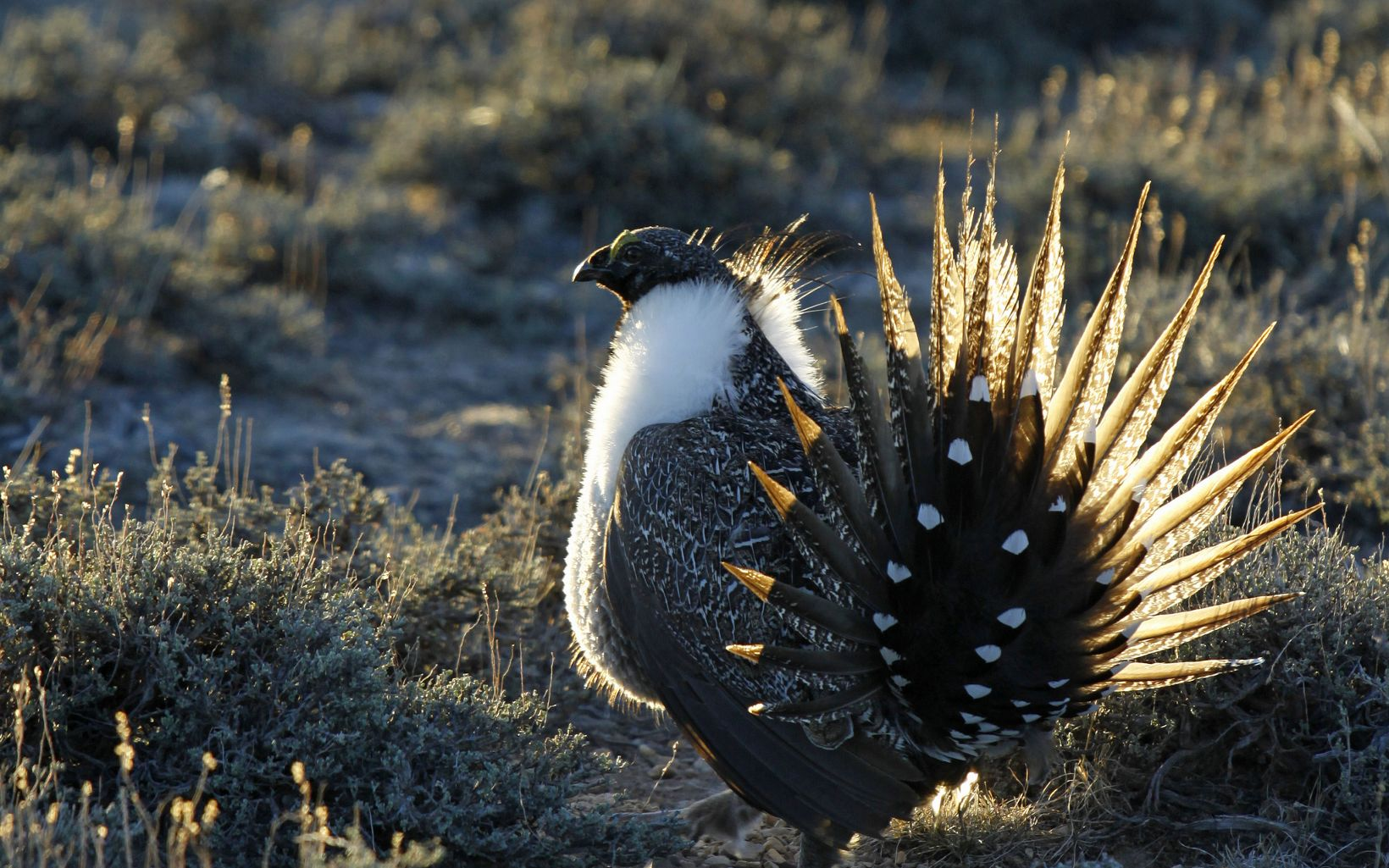 A Greater Sage-Grouse (Centrocercus urophasianus) in Wyoming.