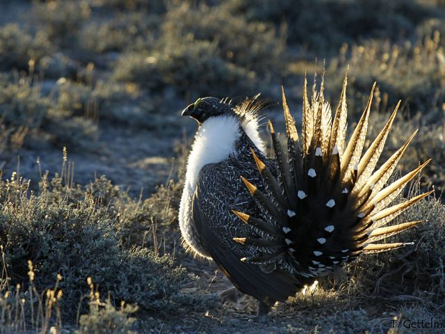 Sage grouse at sunrise stands among a field of sagebrush.