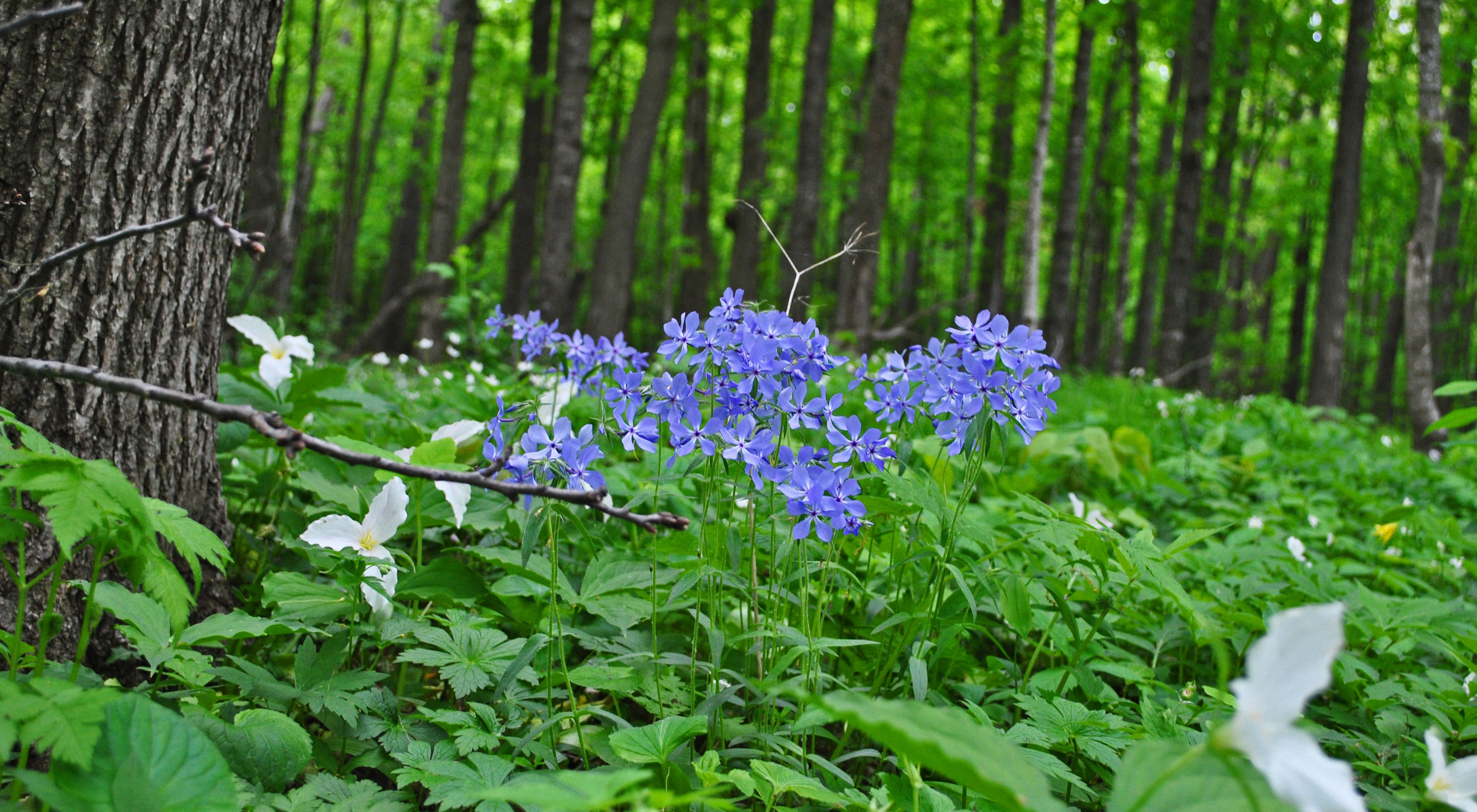 Blue and white flowers emerge from forest groundcover.