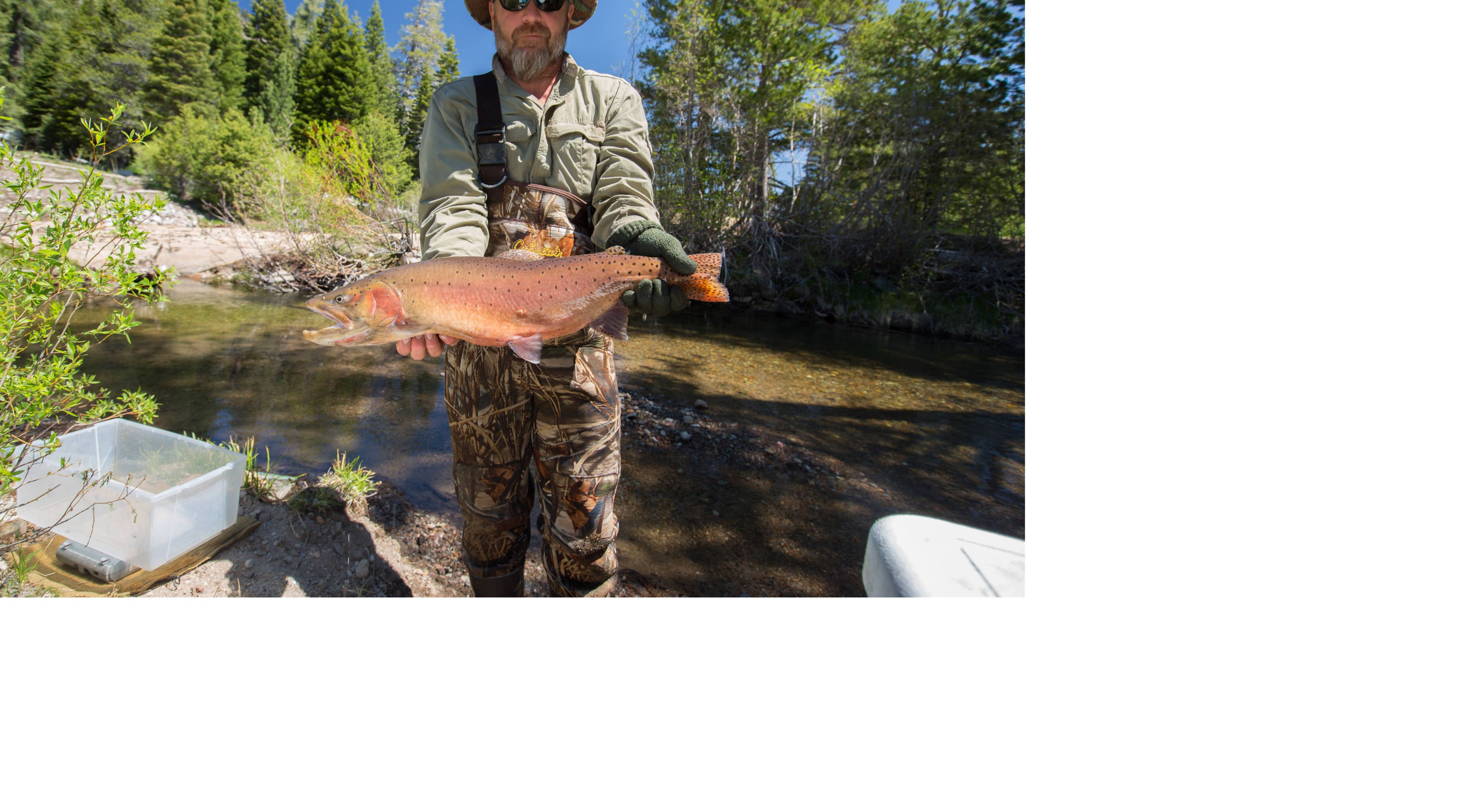 Lahontan cutthroat trout at Independence Lake Preserve in the Northern Sierra Nevada.