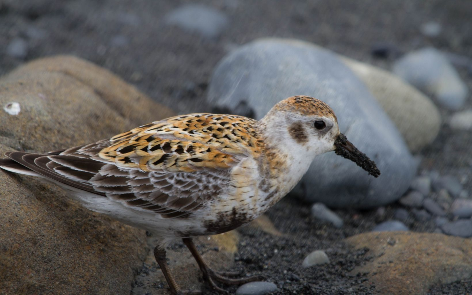 Rock sandpiper on Hawadax Island in Alaska.