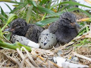 Black oystercatcher nest