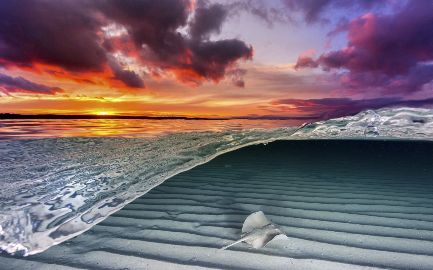 A common stingray gliding over the shallow sand flats as the sky bursts to life with color from the setting sun