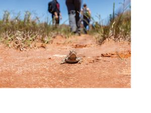 Hikers walk alongside a Texas horned lizard at the Four Canyon Preserve.