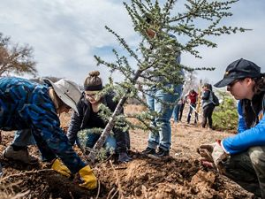 Three people planting a young evergreen tree.