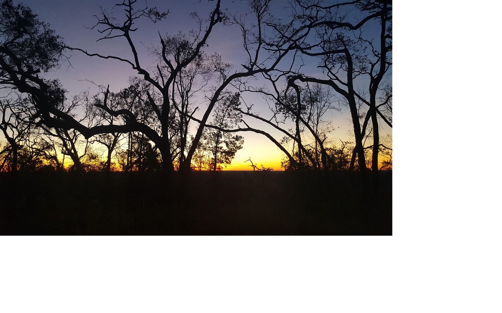Live Oak Trees at Dusk