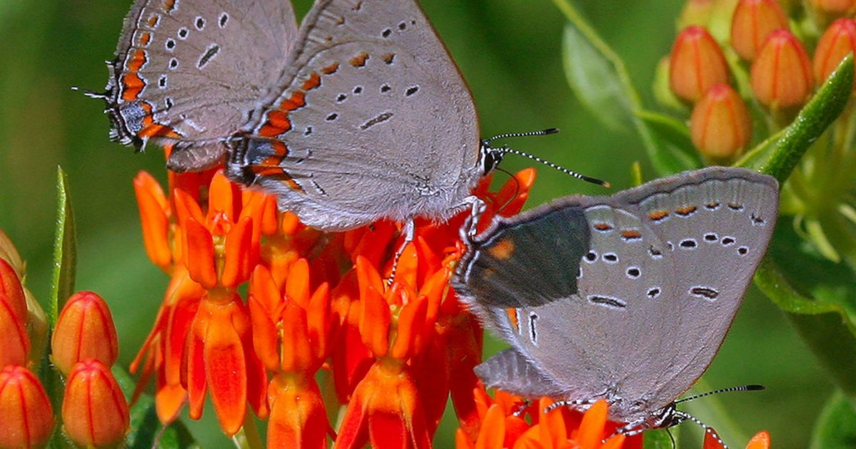 Three grey and orange butterflies rest on orange flowers.
