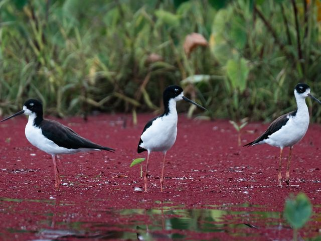 Three ae'o or Hawaiian stilts stand in marshy waters.