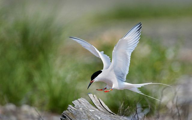 A tern landing on log at Plum Island.