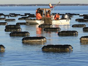 Harvesting oysters from cages in the Chesapeake Bay.