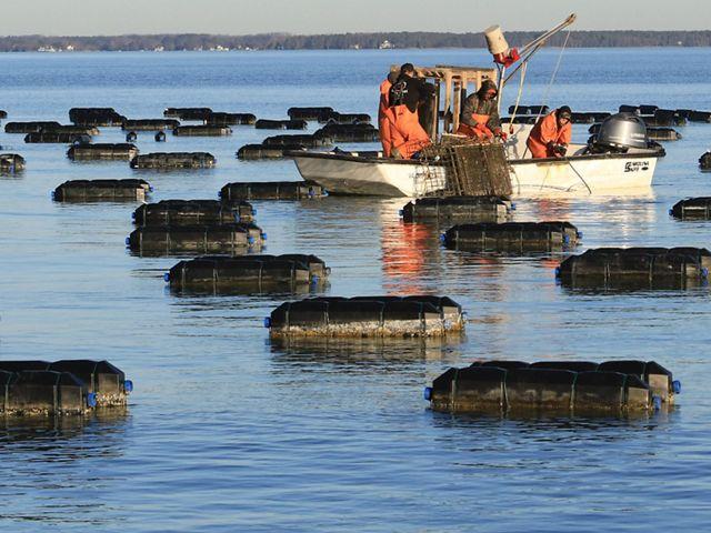 Chesapeake Oyster Aquaculture