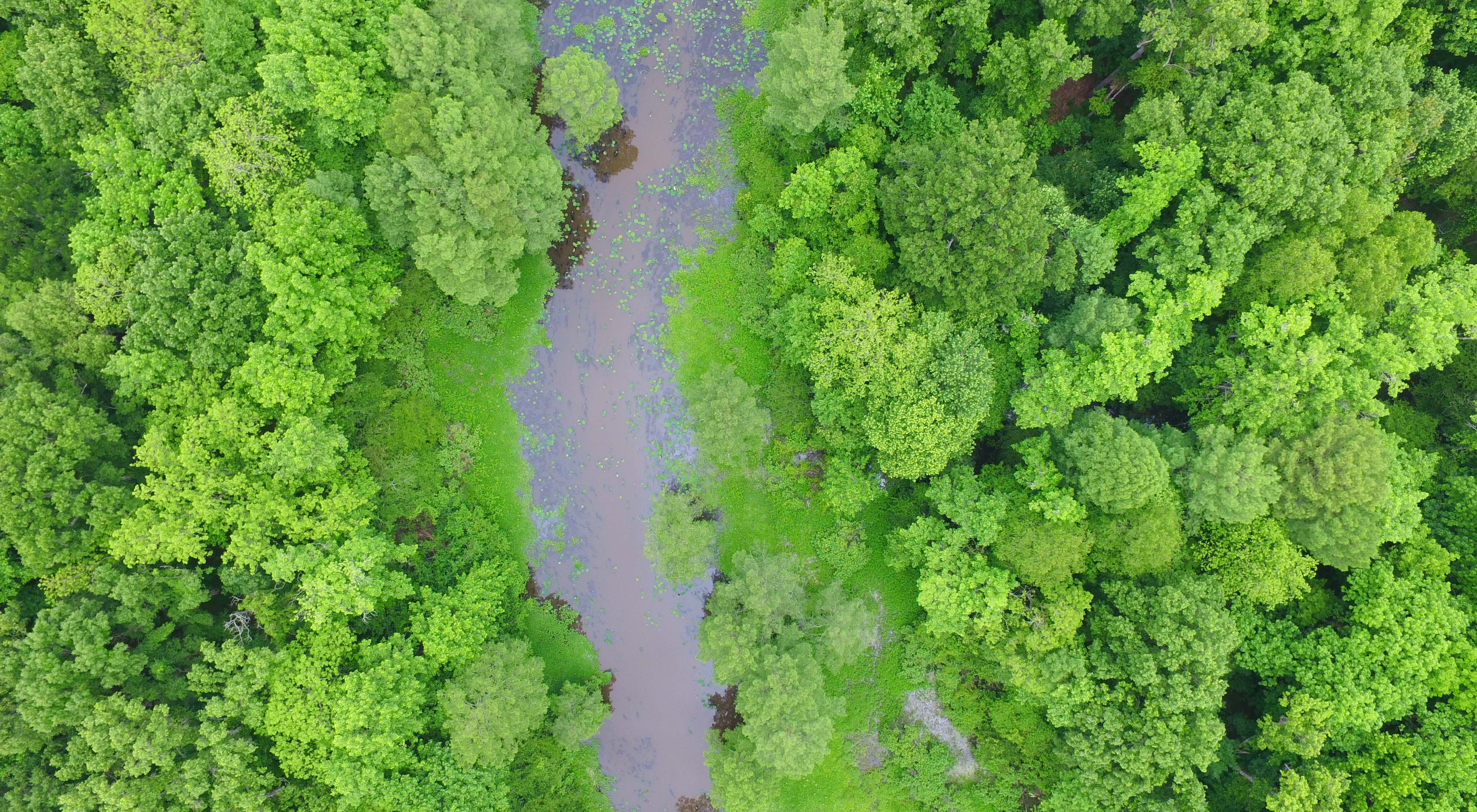 An aerial photo from a drone of forested wetlands in the Atchafalaya River Basin