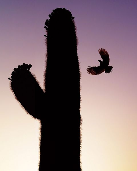 gila woodpecker flying to saguaro