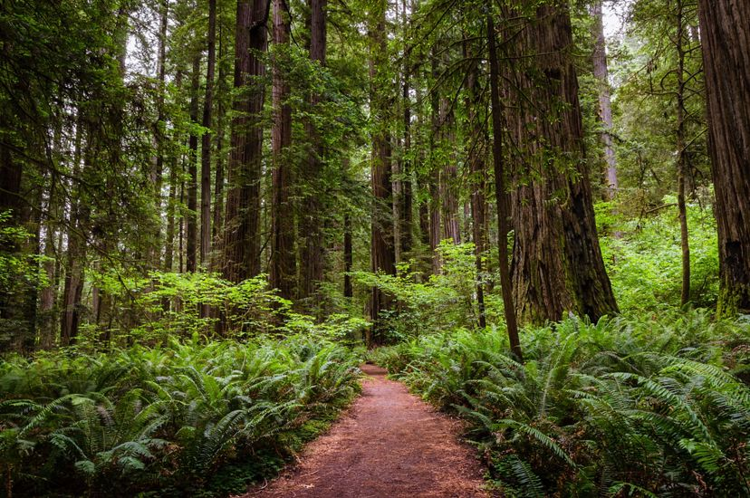 Narrow footpath through a redwood sequoia forest in California in summer