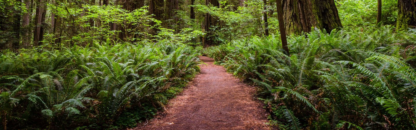 Empty path through a redwood sequoia forest near the coast of California.
