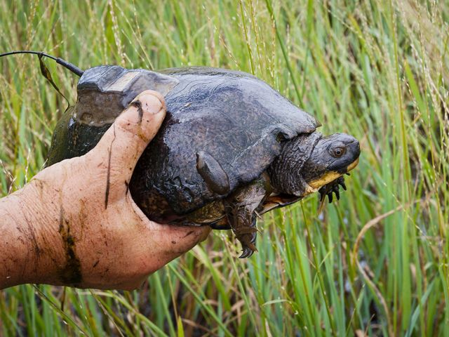 Adult Blanding's turtle with radio transmitter