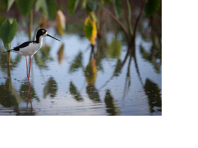 The native ae'o (Hawaiian stilt) has returned to the He'eia wetlands.