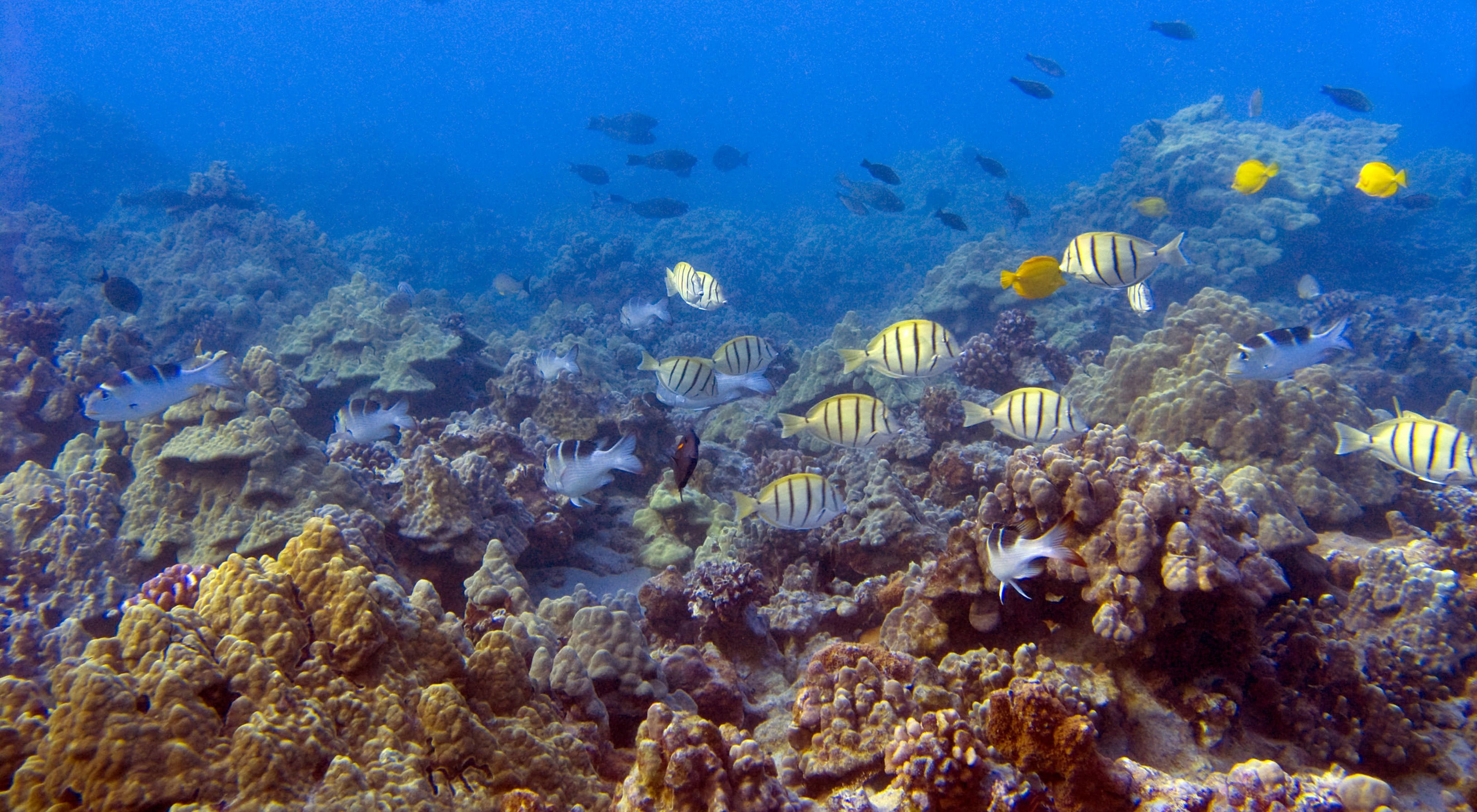 Coral reefs and fishes at Ahihi Kinau Natural Area Reserve on Maui.