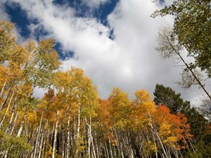 Trees turning yellow and red against a blue, cloudy sky.