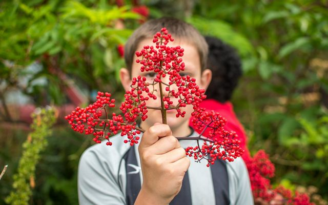 A person in the Village of Kasaan in southeast Alaska holds up a red elderberry branch.