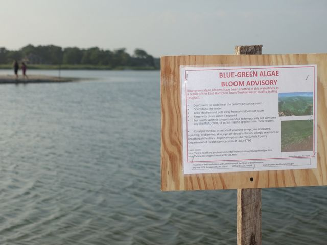Signs like this one are common sights on Long Island, where blue-green algae blooms produce a powerful toxin, called microcystin, which can make people and wildlife sick.