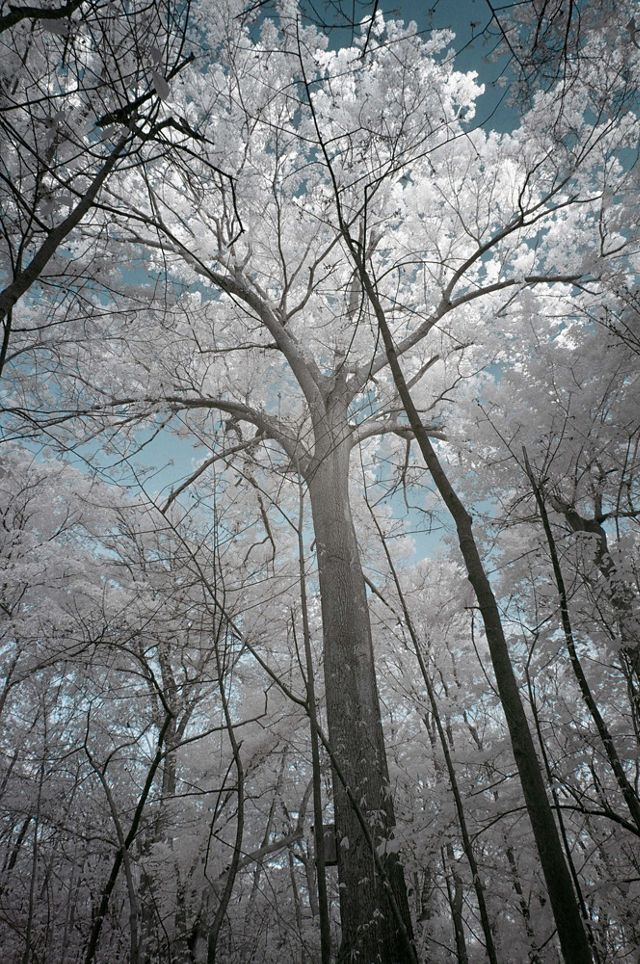A tall oak spreads its full canopy against the sky. The infrared photo turns the green leaves white against a blue sky.