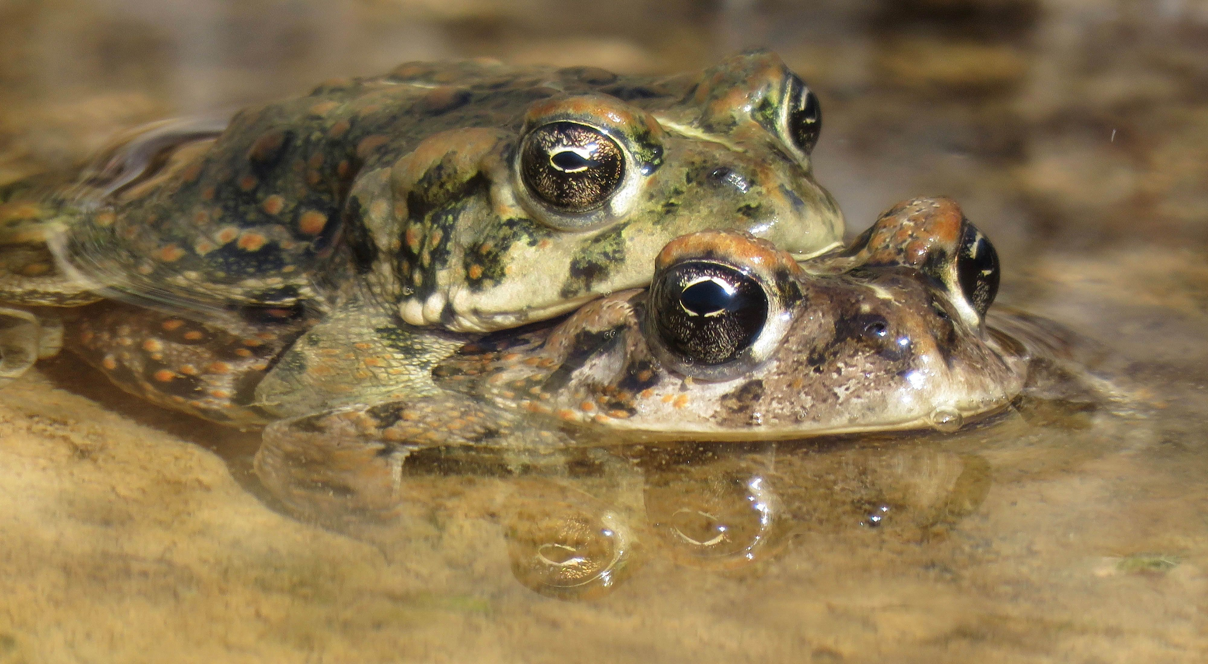 Two Amargosa toads breeding in southern Nevada