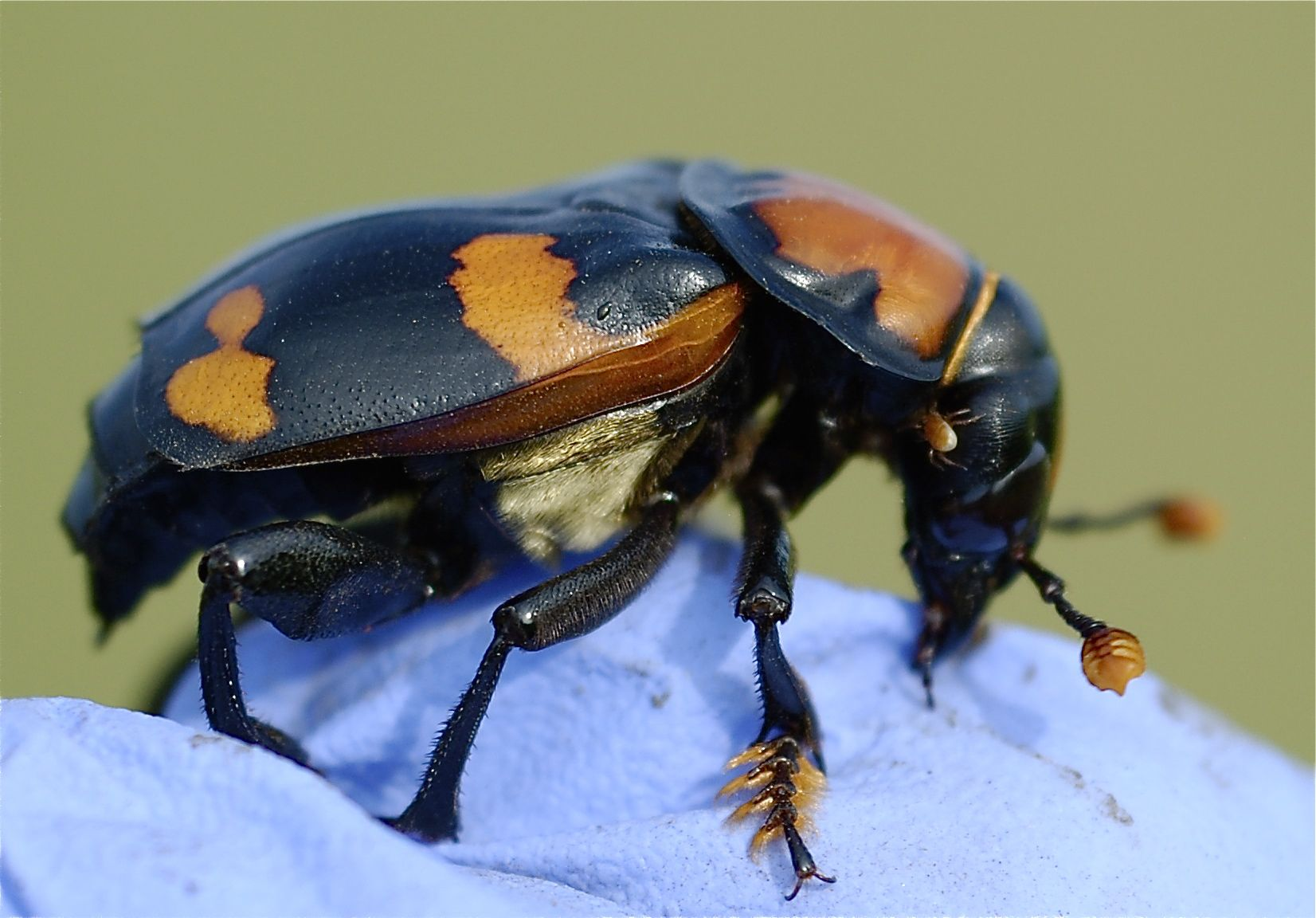 American burrying beetle close-up.