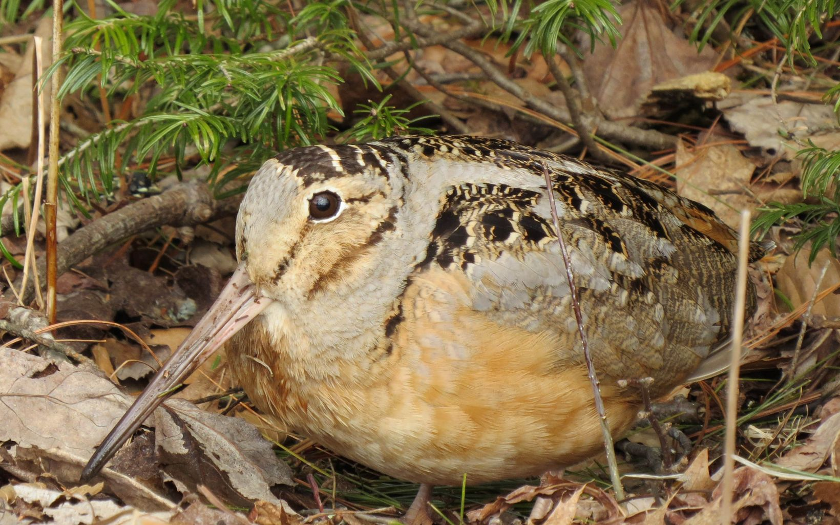 A brown bird rests on the forest floor.