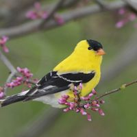 A gold and black bird sits on a branch with purple flower buds.
