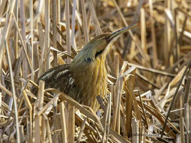 American Bittern blending in with the marsh reeds.