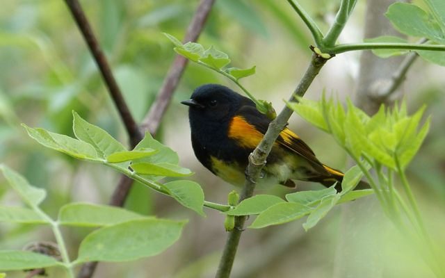 An American redstart warbler peeking through the fresh spring leaves.
