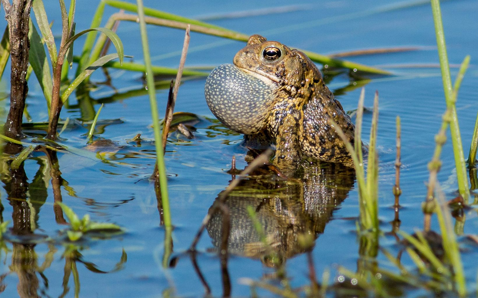 Wisconsin's only toad, the American toad can live in wet and dry habitats including our yards and gardens!