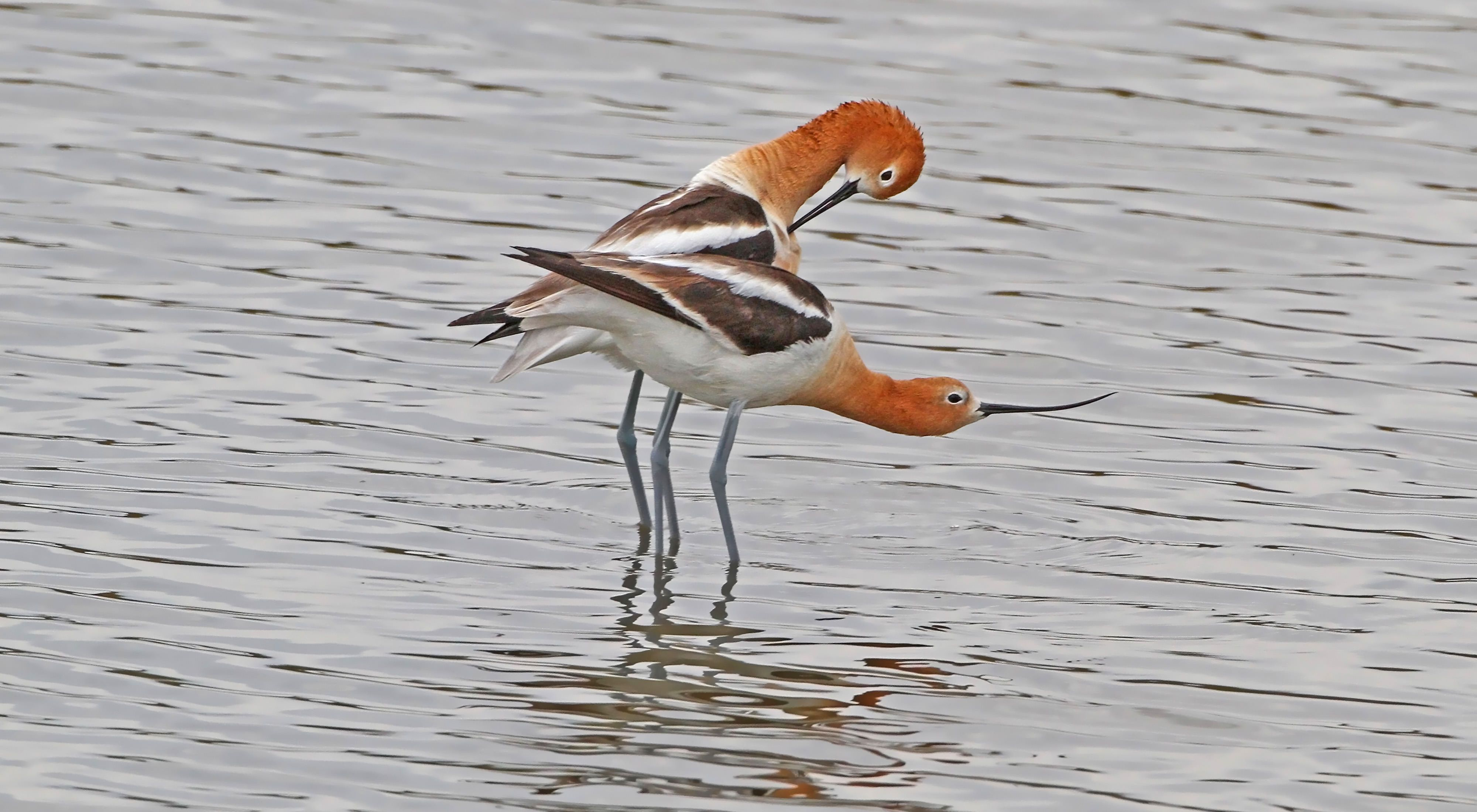 Two red-headed birds entwined while standing in shallow water.