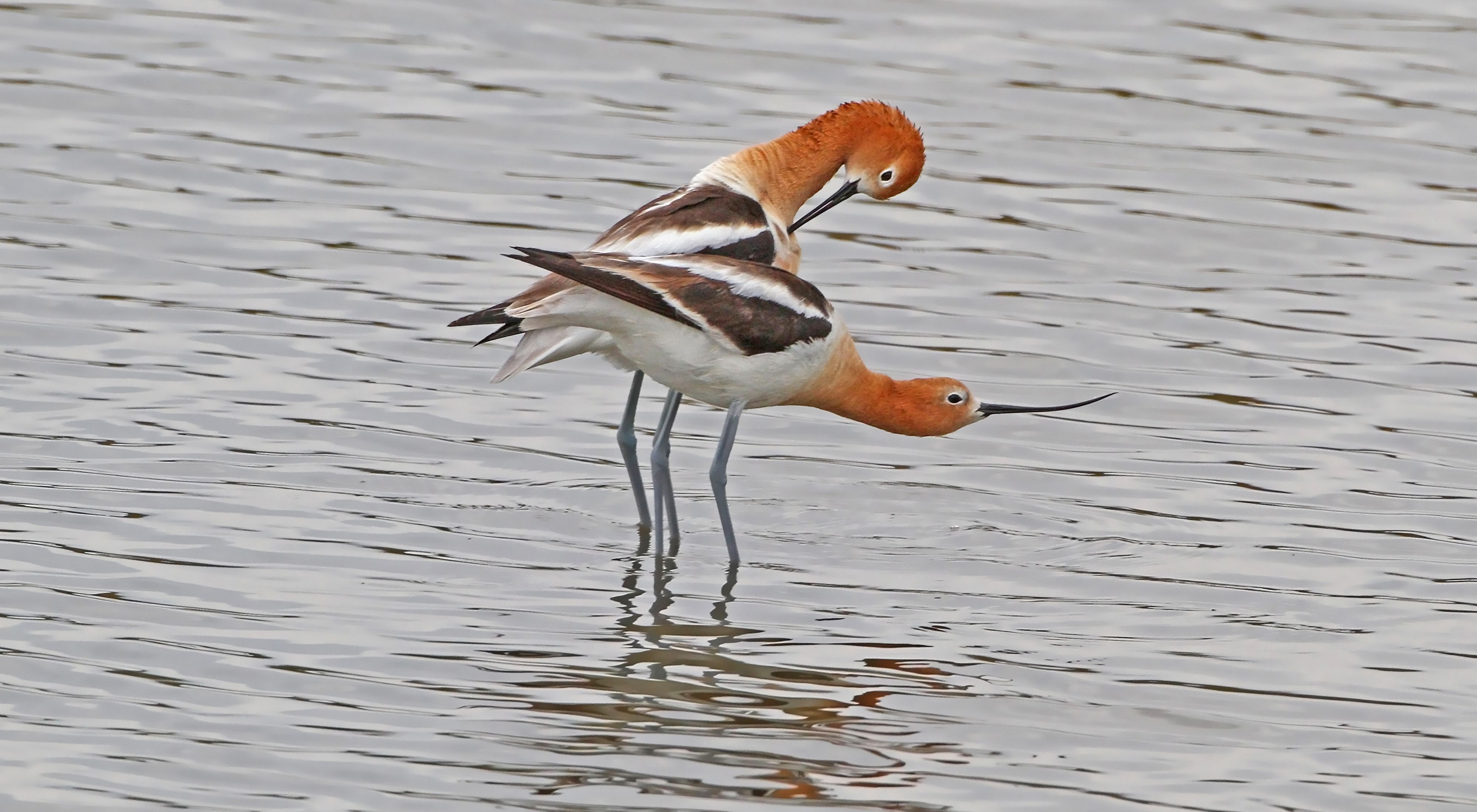 Two american avocets in breeding ritual