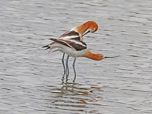 Two entwined American avocets stand in shallow water.