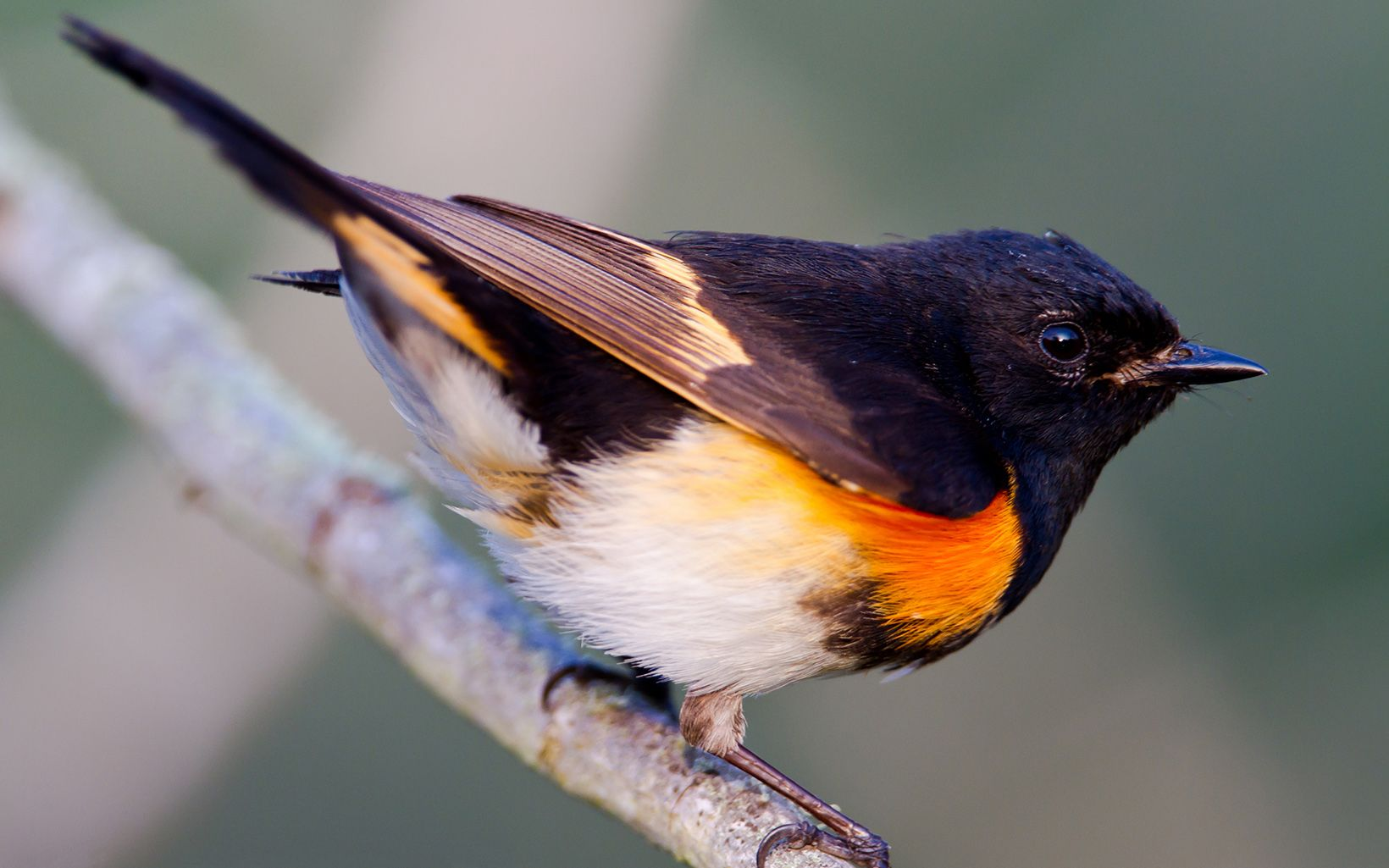 A small bird has a black head and a white belly.