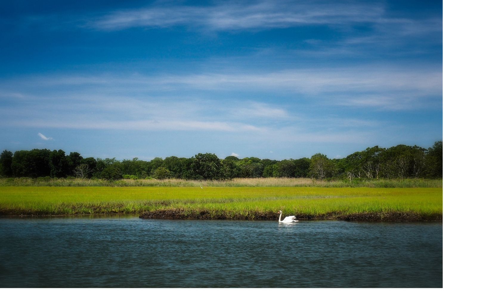 A white swan swimming in the water with salt marsh and trees in the background under a blue sky.