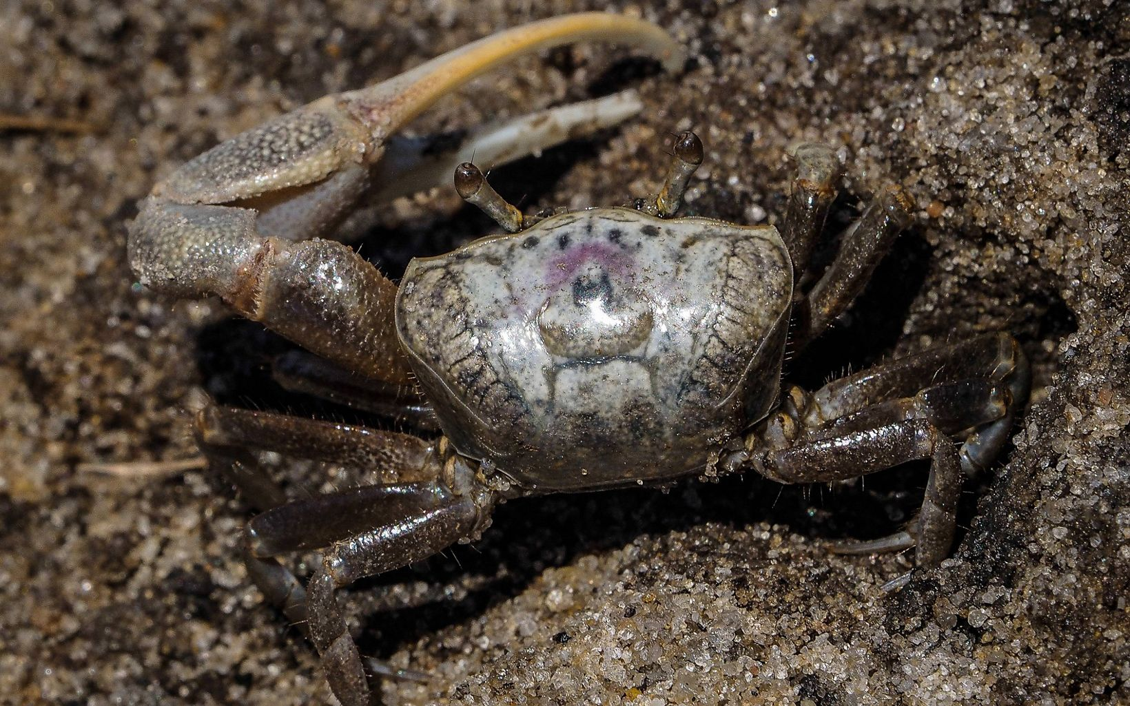 Closeup of a fiddler crab in sand.