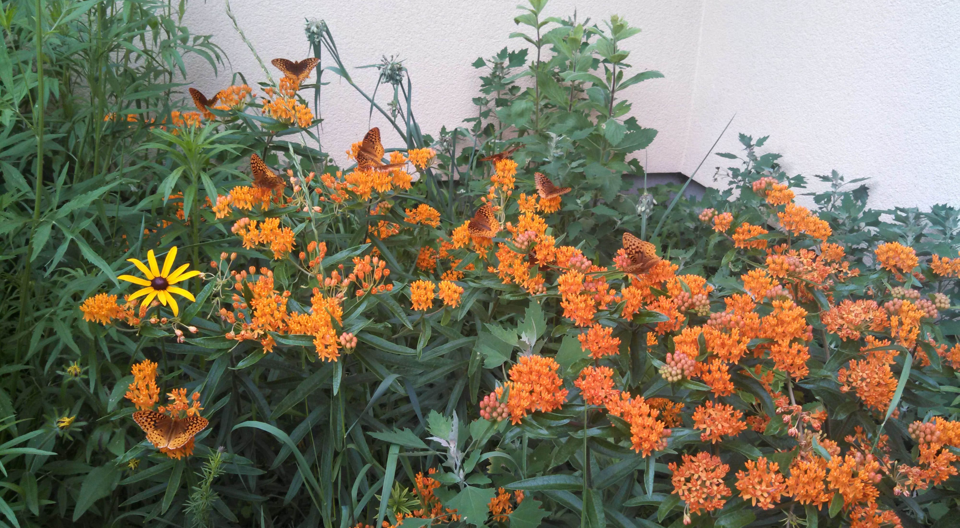 A group of brown and orange butterflies on a dense patch of orange flowers in front of the white exterior wall of a building.