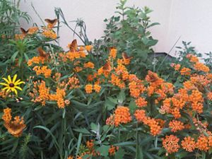 Butterfly milkweed blooming in a front yard.