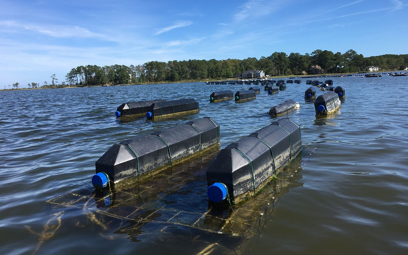 White Stone Oyster Company uses a floating cage system to grow their oysters. Each cage holds three mesh bags of oysters.
