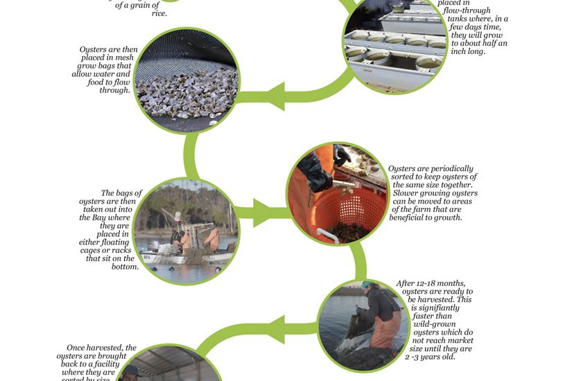 A timeline of the oyster aquaculture process.