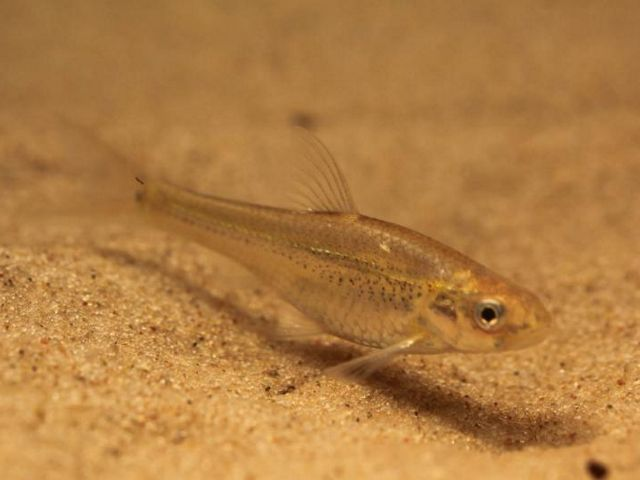 The Arkansas river shiner is a small minnow that can be found in the Canadian River along the Four Canyon Preserve in Oklahoma.