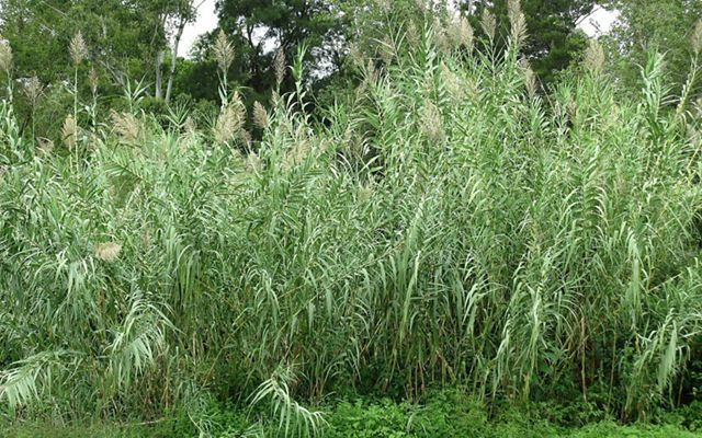 Densely packed tall grassy plants with large tassel-like flowers.