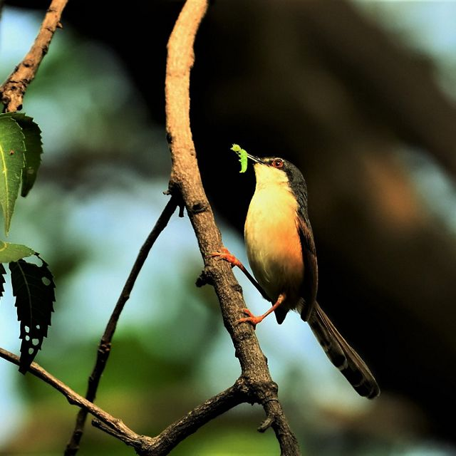 An Ashy Prinia enjoys its breakfast. Madhya Pradesh, India. Honorable Mention in the 2019 Staff Photo Contest.